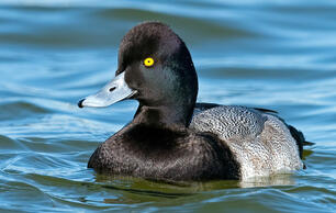 Greater or Lesser Scaup? Here Are the Biggest Differences Between the Two