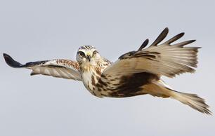 Five Handy Tricks for Photographing Raptors in Flight