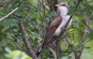 Audubon Calls for More Resources and Attention (not Less) for Western Yellow-billed Cuckoo