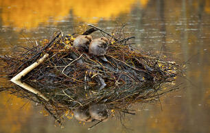 A World Without Beavers Is a World Without Wildlife We Love