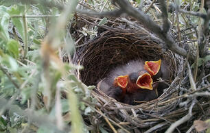 In Sagebrush Country, Drilling Brings Nest-Raiding Rodents