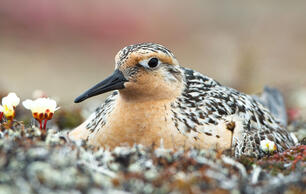 The Arctic Is Shrinking, and so Are Its Birds