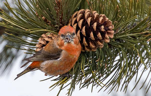 The Man Behind the Brilliant Winter Finch Forecast Is Passing the Torch
