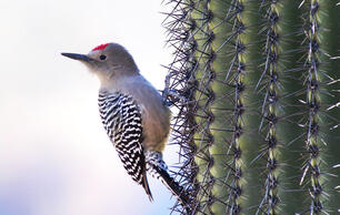 So, Apparently Some Woodpeckers Like to Eat the Brains of Baby Birds