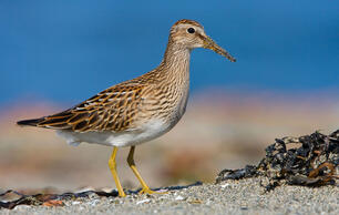 High Mercury Levels Pose Another Setback for Arctic Birds