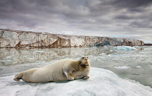 Future Ice Melt Enough to List Species as Threatened Now