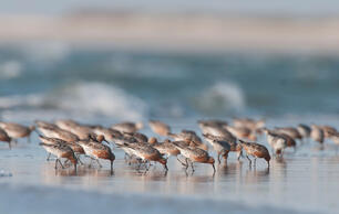 The 10 Best Places to See a Migrating Red Knot (or Thousands)