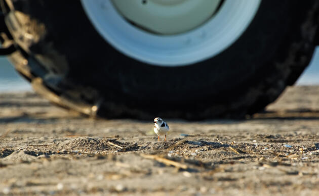 Piping_Plover_Johann_Schumacher
