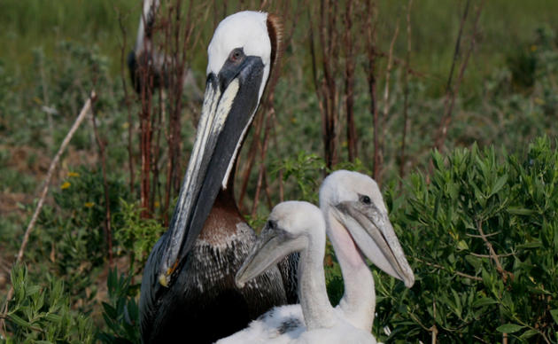 Photo of an adult Brown Pelican with two young Brown Pelicans in a nest on Crab Bank in South Carolina
