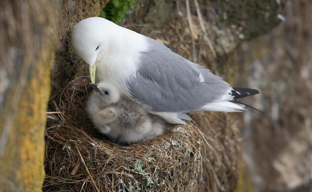 Black-legged Kittiwake with chick