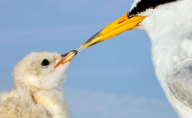 Photo of a Least Tern touching its beak to its chick's beak. Photo: Jim Verhagen/Audubon Photography Awards