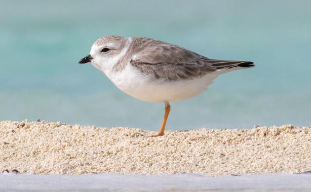 Piping Plover. Camilla Cerea/Audubon