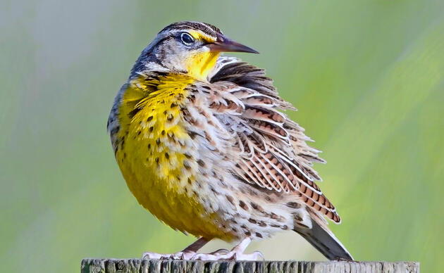 Western Meadowlark perched on a square post.