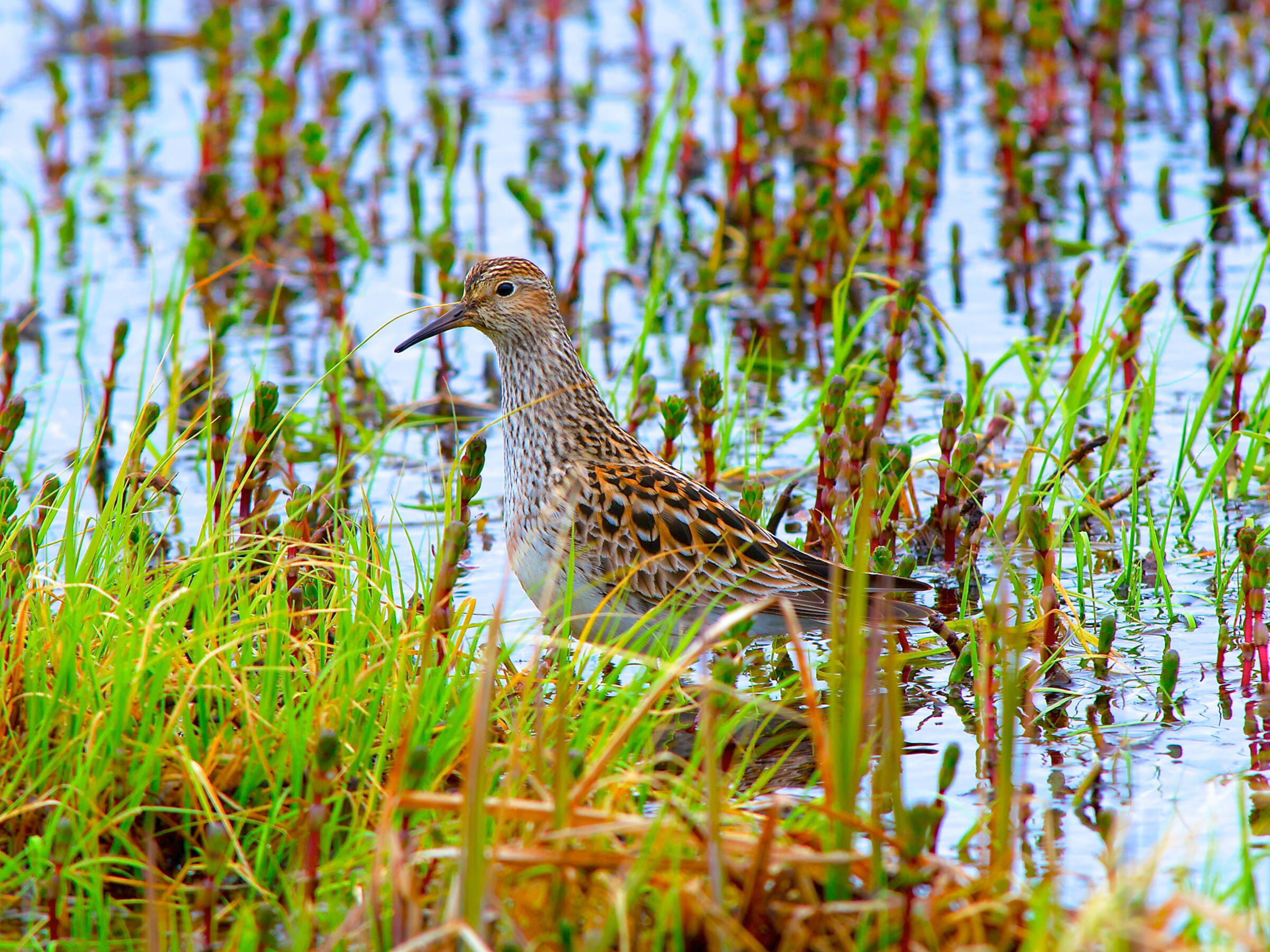 A Pectoral Sandpiper wading in reeds.