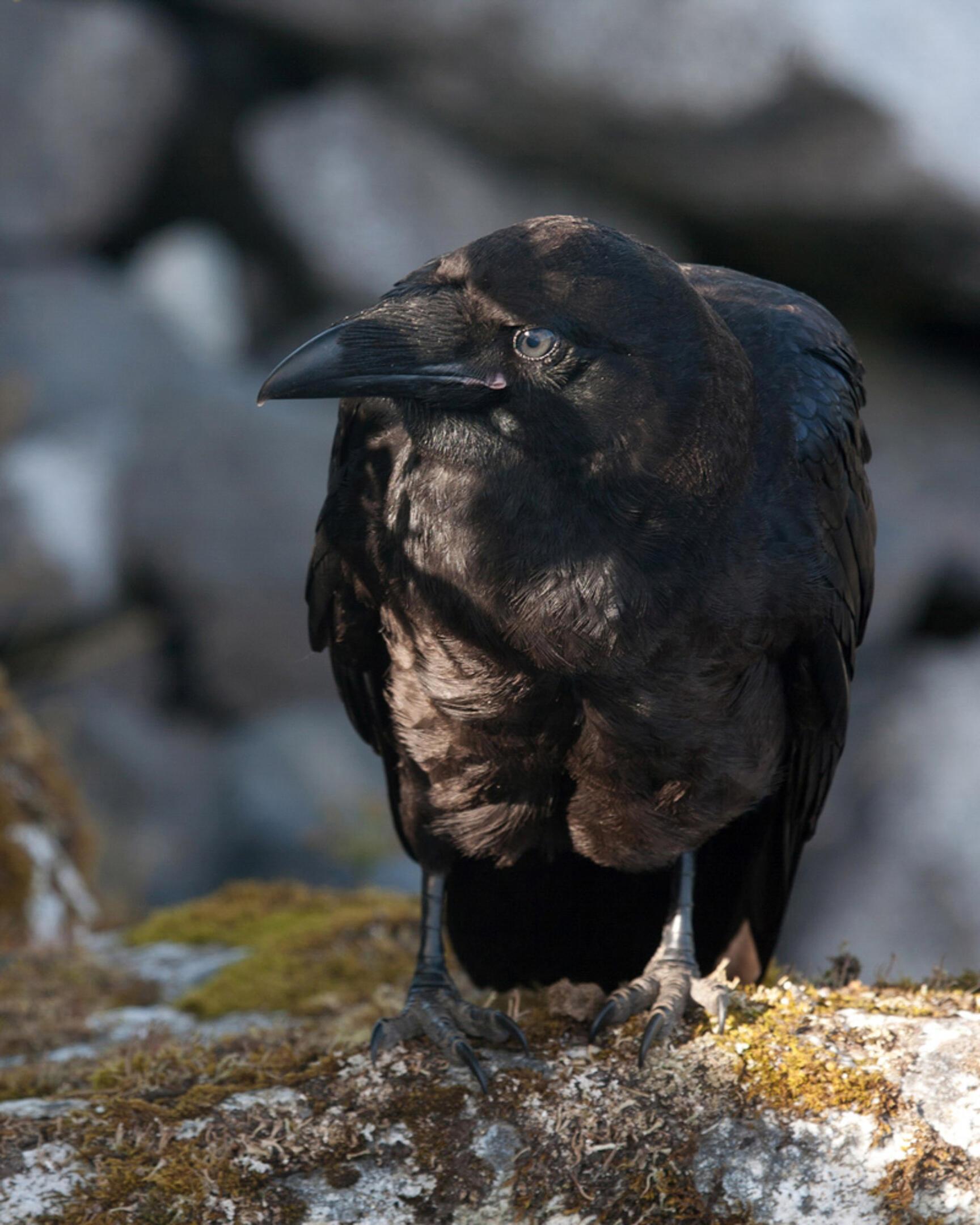Adult raven photograph by Ron Hanna via https://www.audubon.org/field-guide/bird/common-raven#photo3