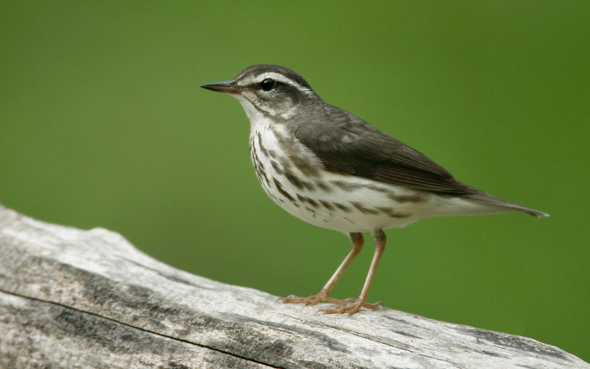 Louisiana%20Waterthrush%20s52-13-302_V.j