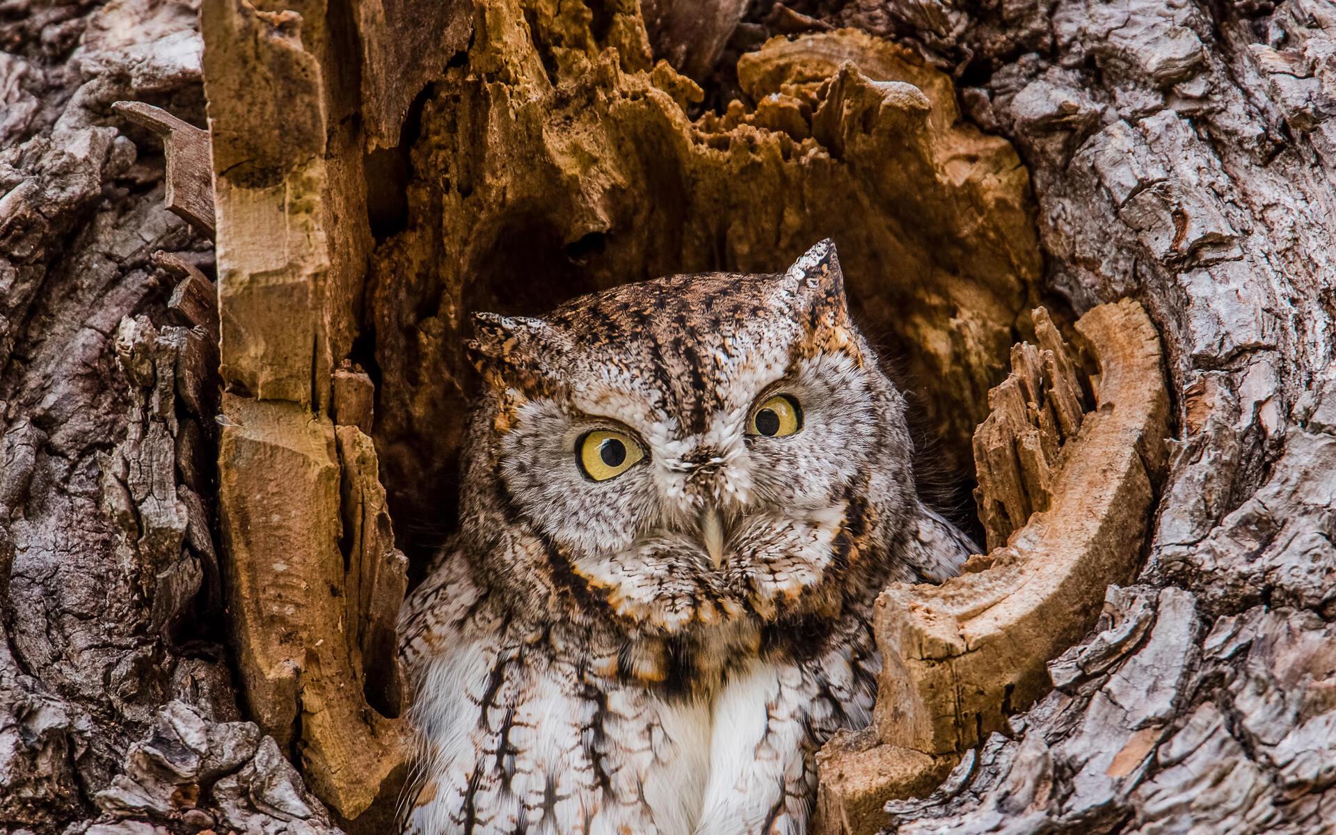 Eastern Screech Owl Audubon Field Guide