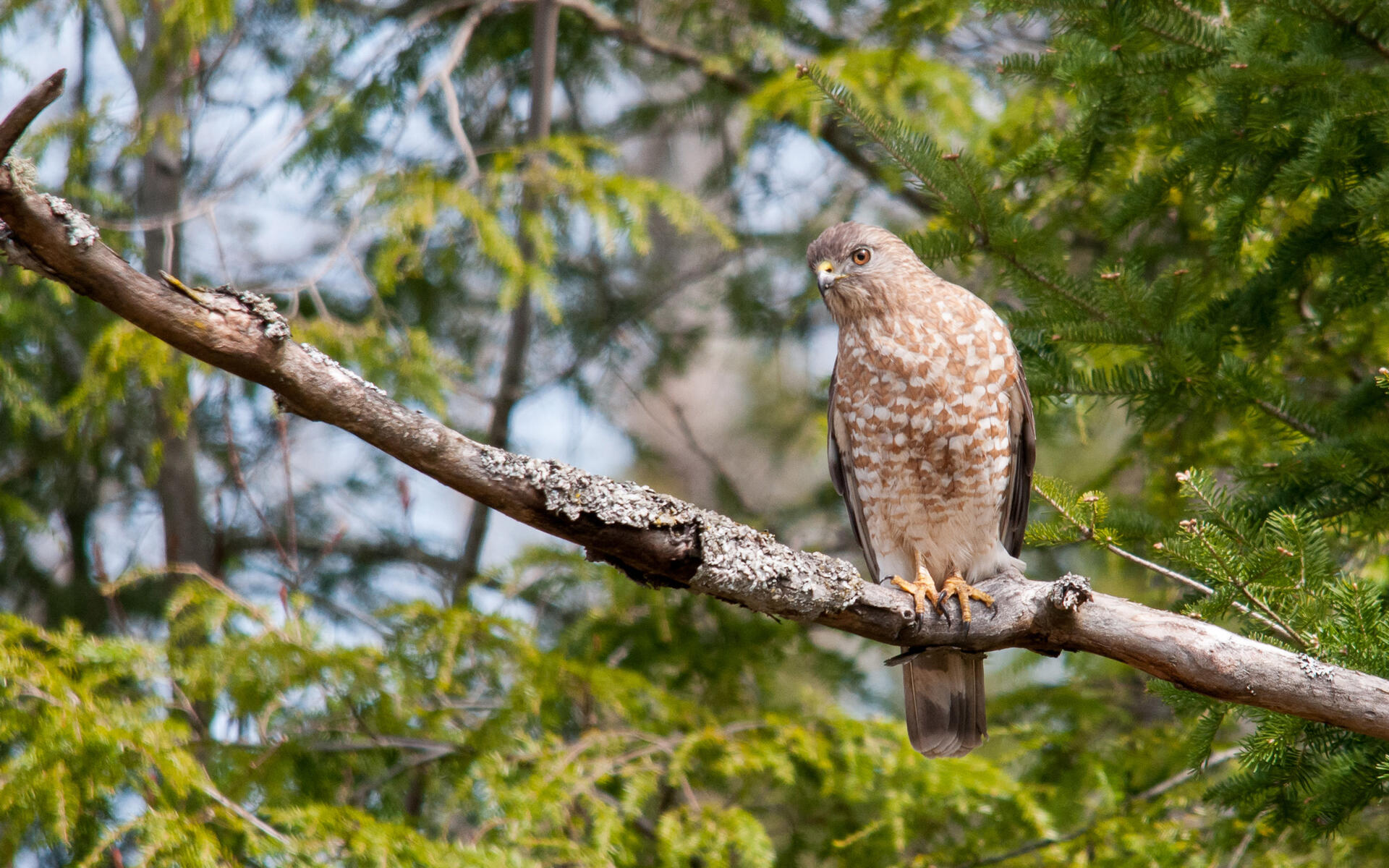 Broad Winged Hawk Audubon Field Guide