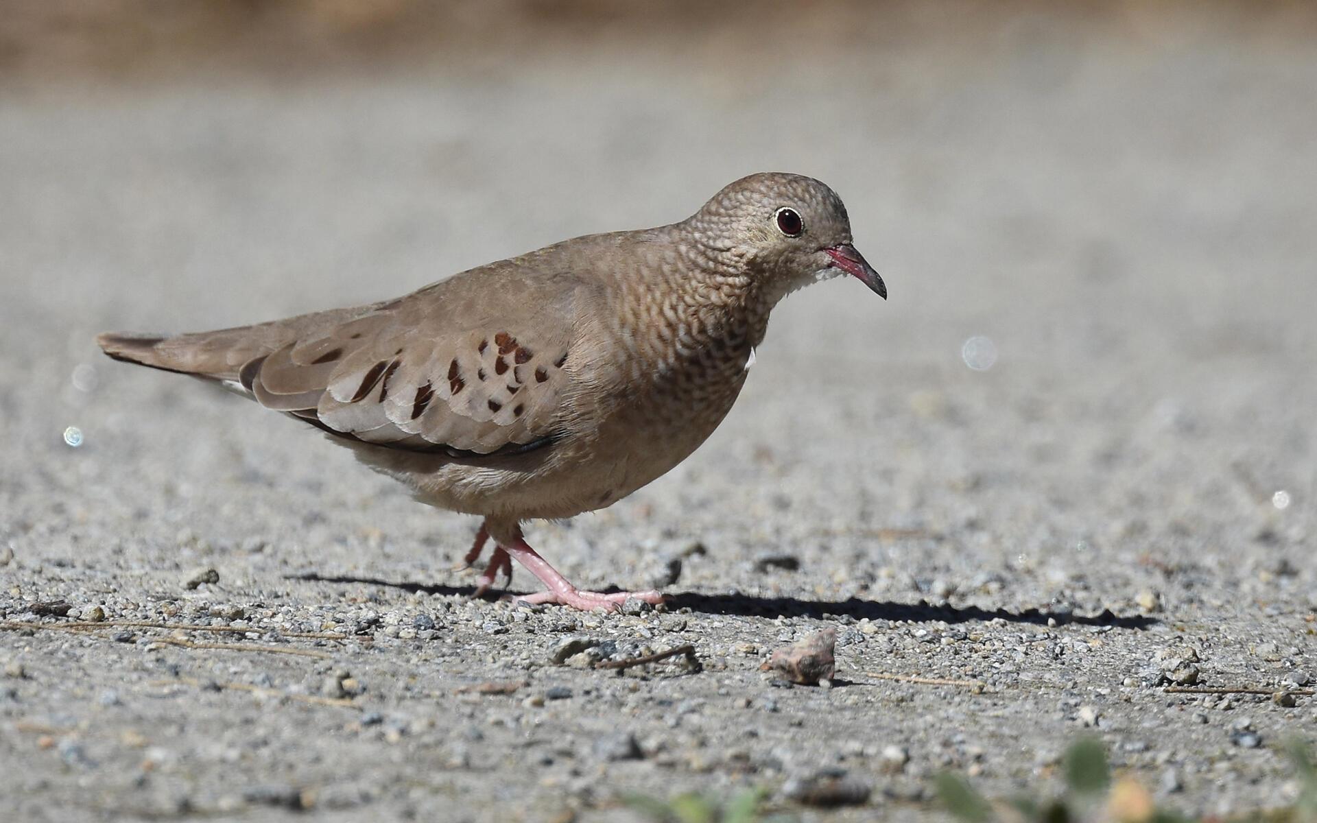 Common Ground Dove Audubon Field Guide