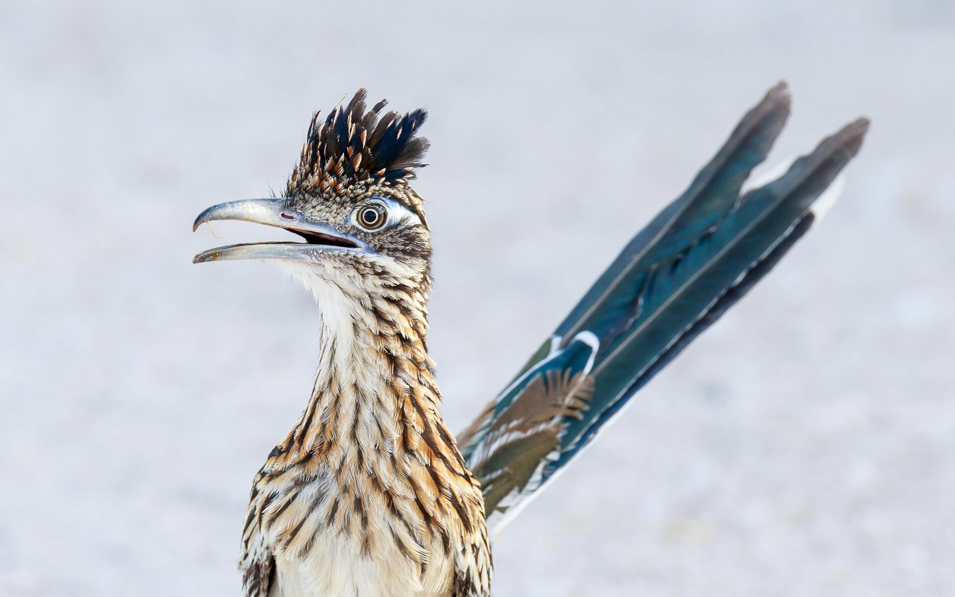 Greater Roadrunner Audubon Field Guide