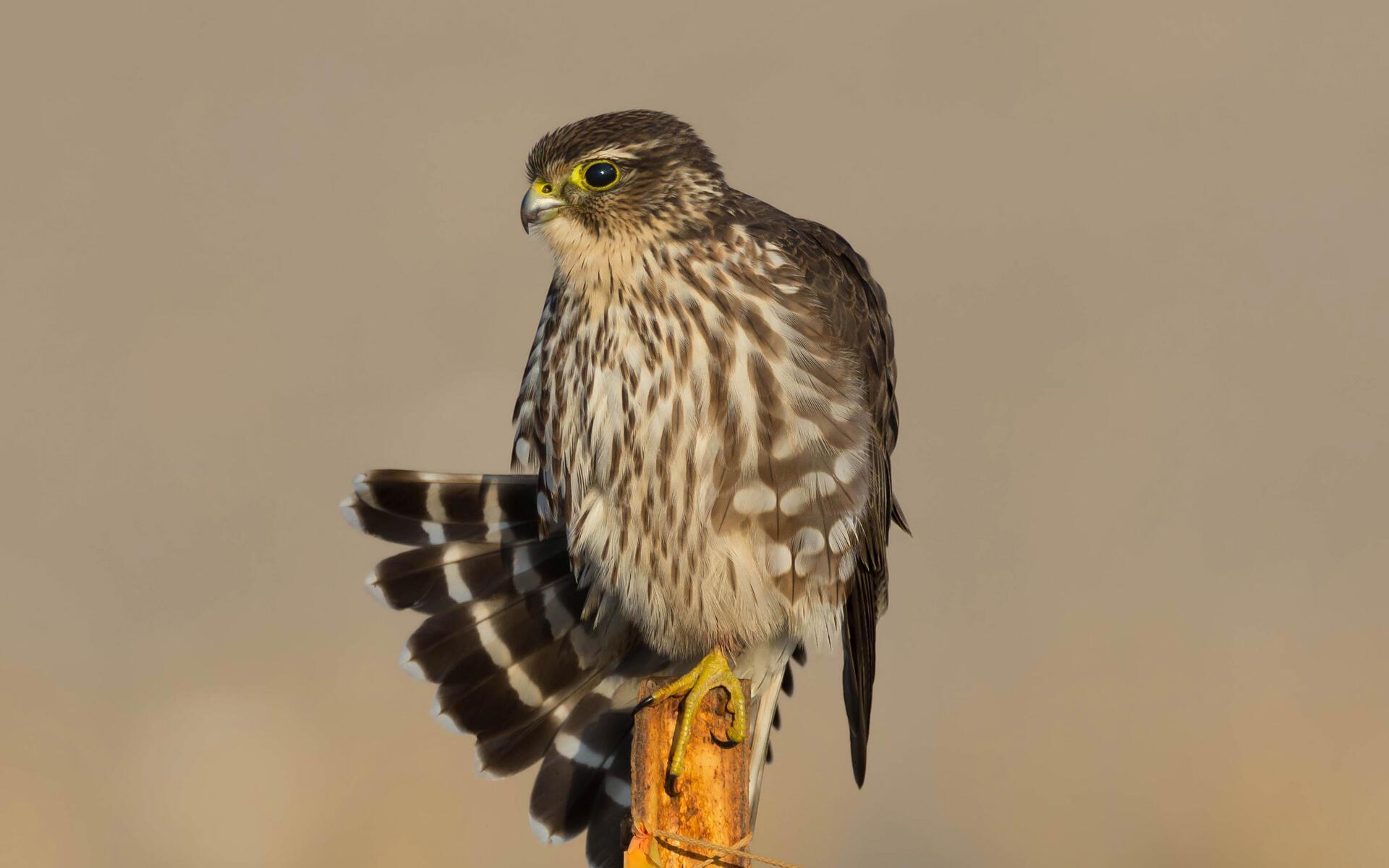 Merlin Audubon Field Guide