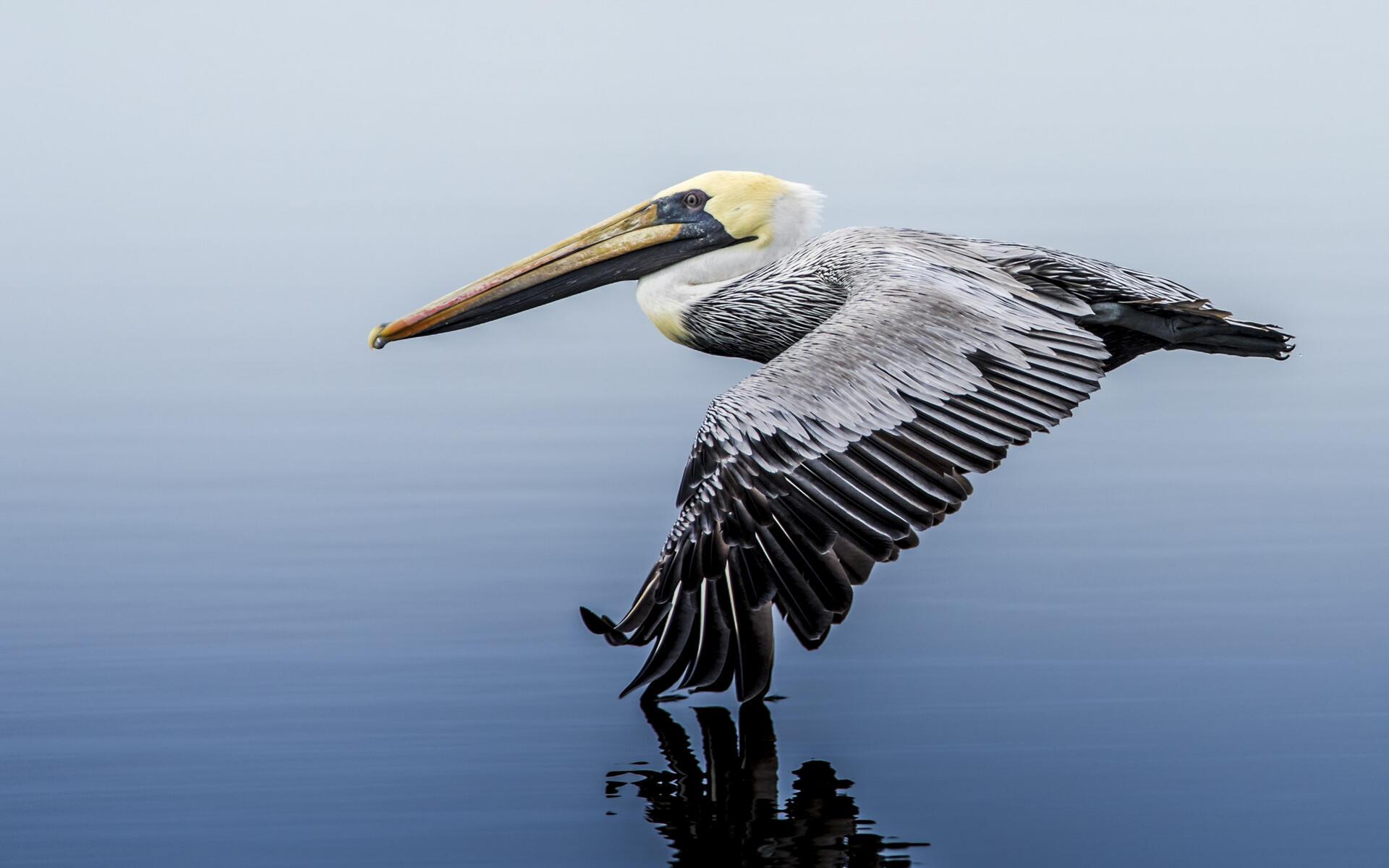 Brown Pelican Audubon Field Guide