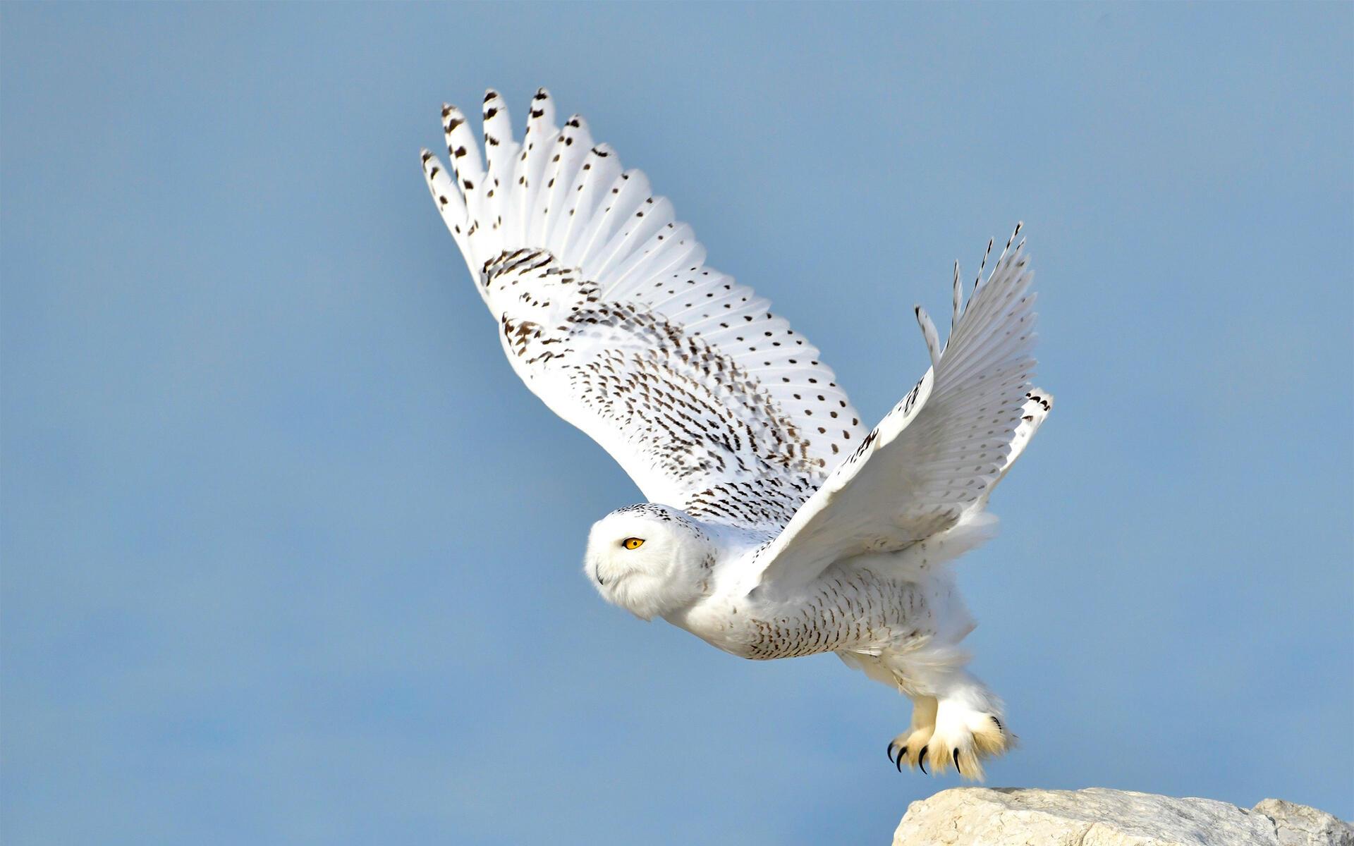 Snowy Owl Audubon Field Guide