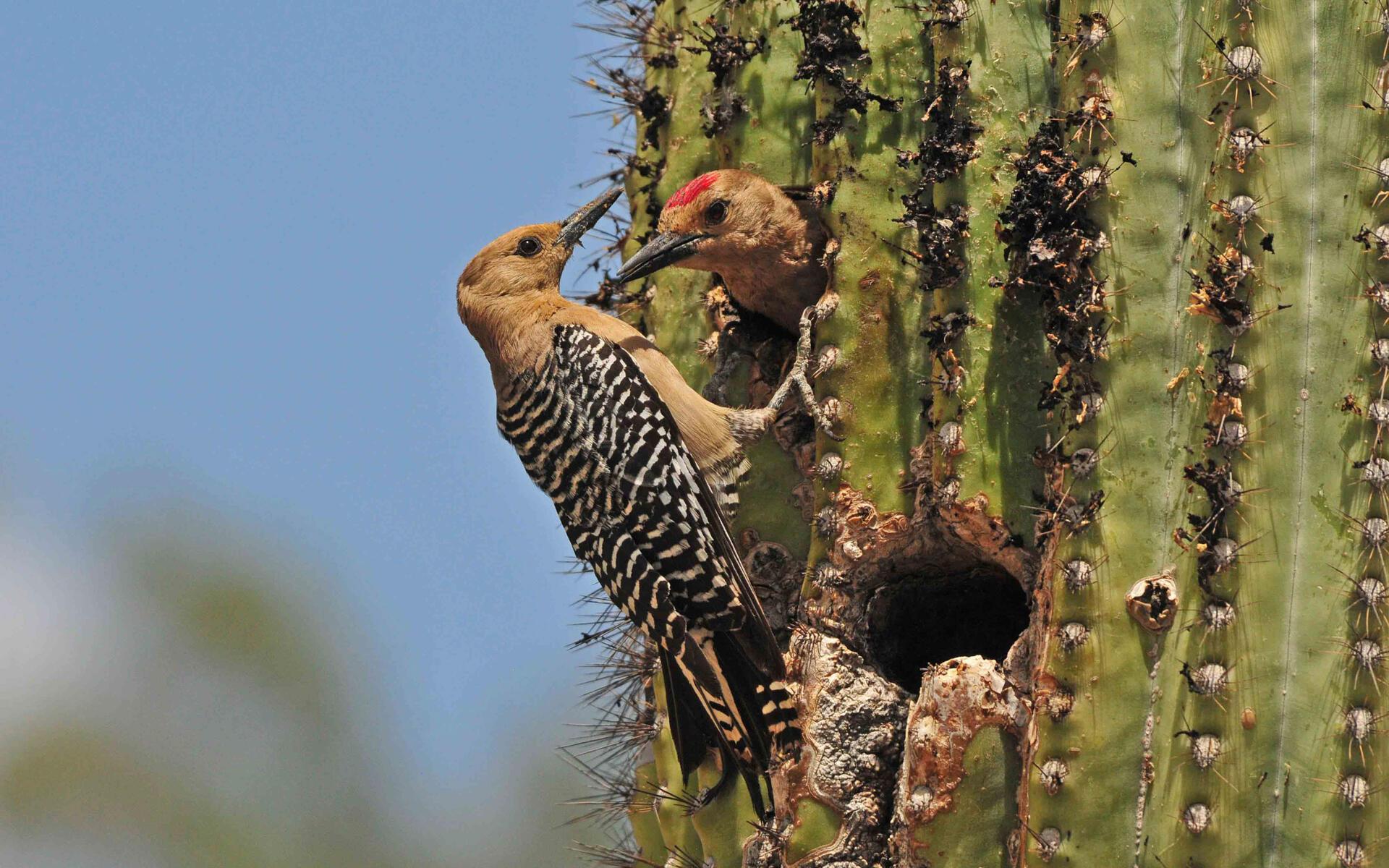 Carpintero del Desierto | Guía de Aves