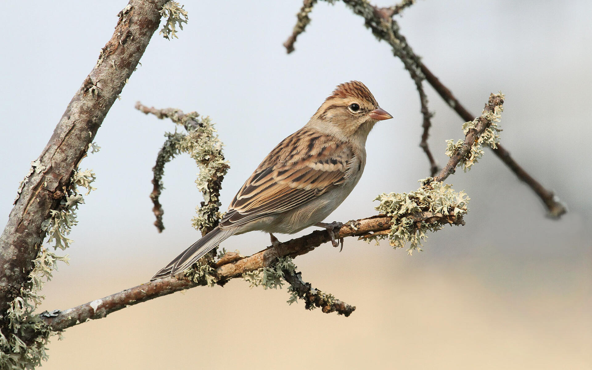 Chipping Sparrow | Audubon Field Guide