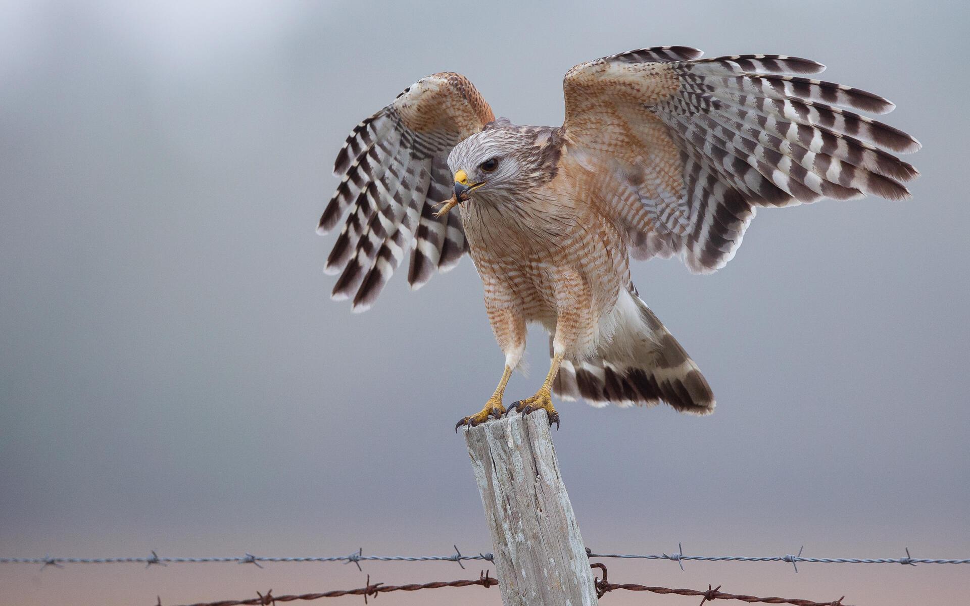 Red Shouldered Hawk Audubon Field Guide