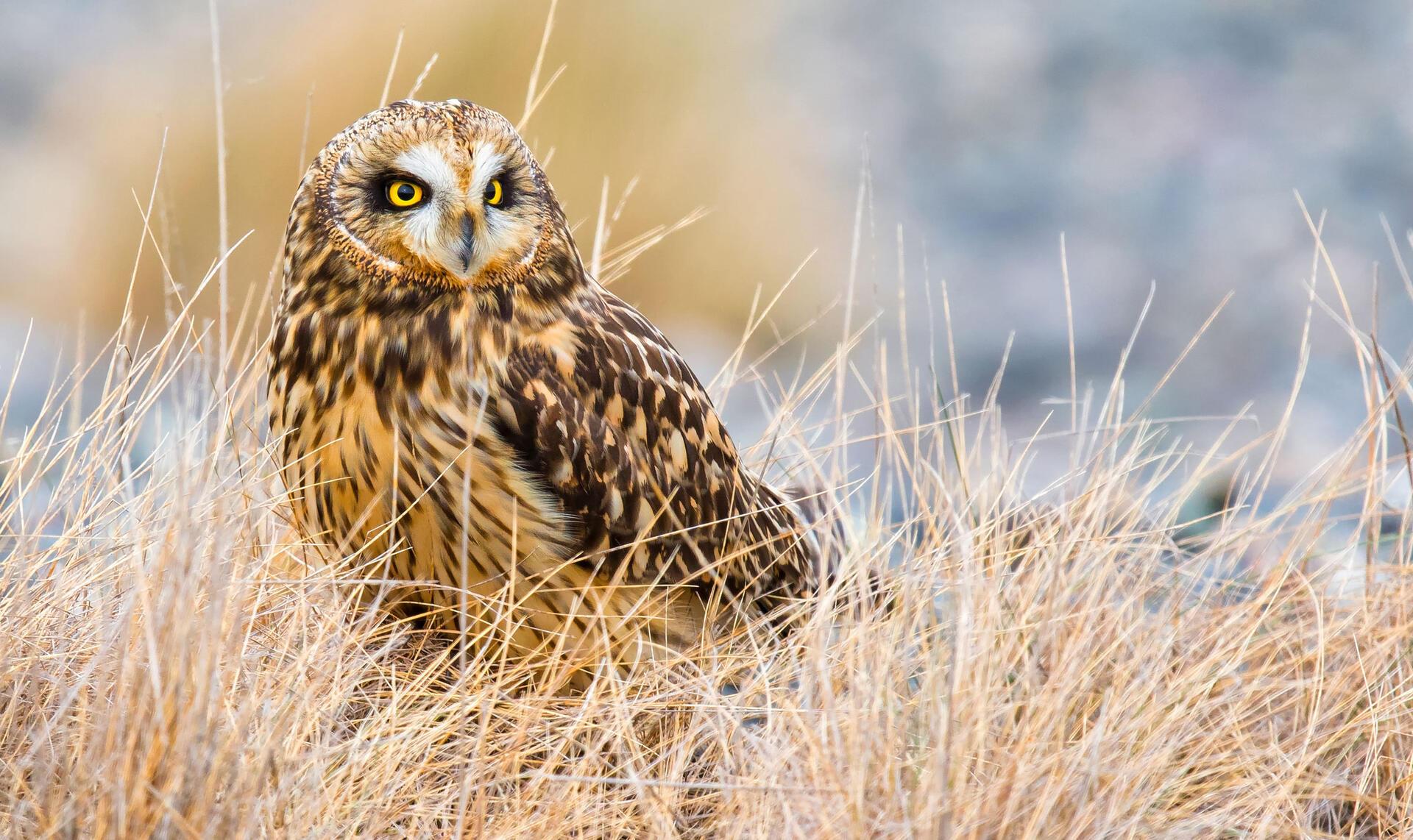 Short-eared Owl | Audubon Field Guide