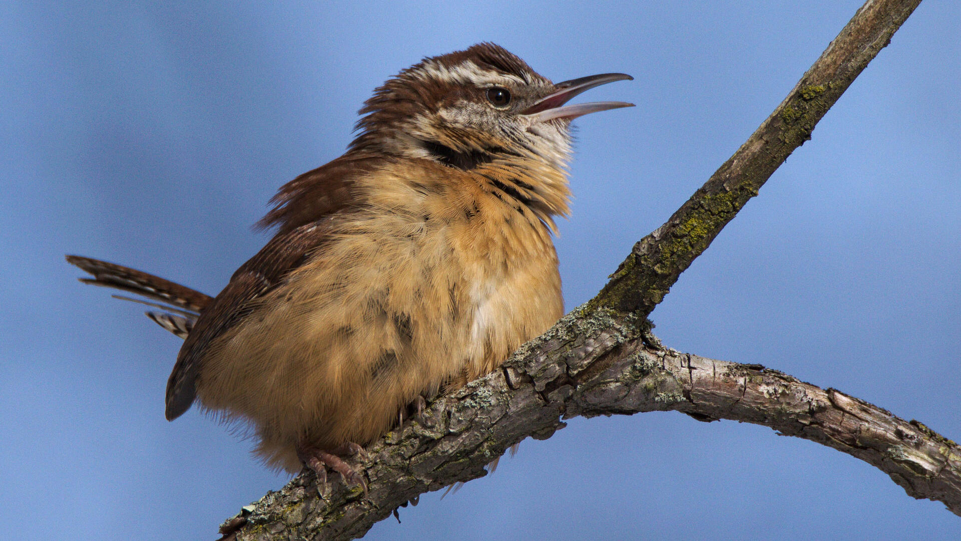 Carolina Wren Audubon Field Guide