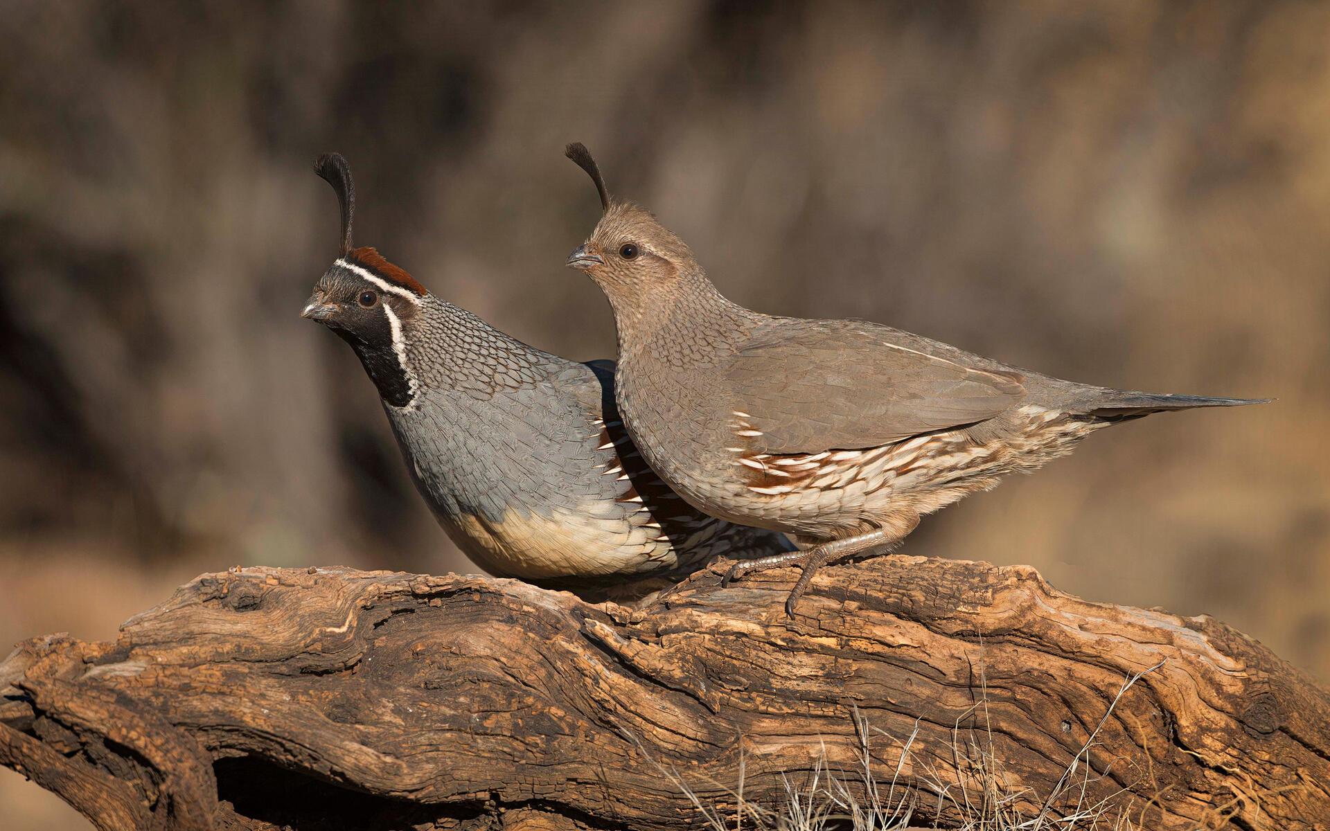 Gambel's Quail | Audubon Field Guide