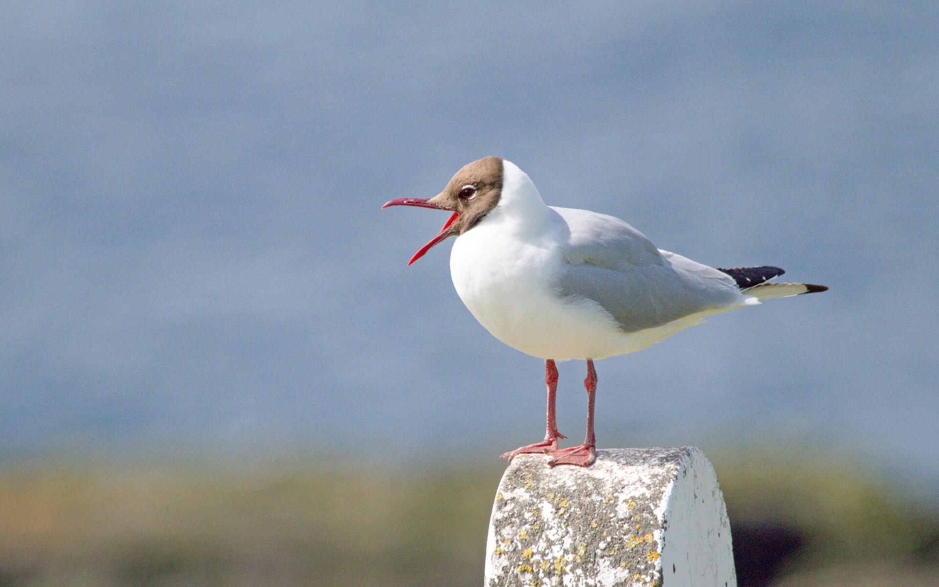 Gaviota Encapuchada Guía De Aves