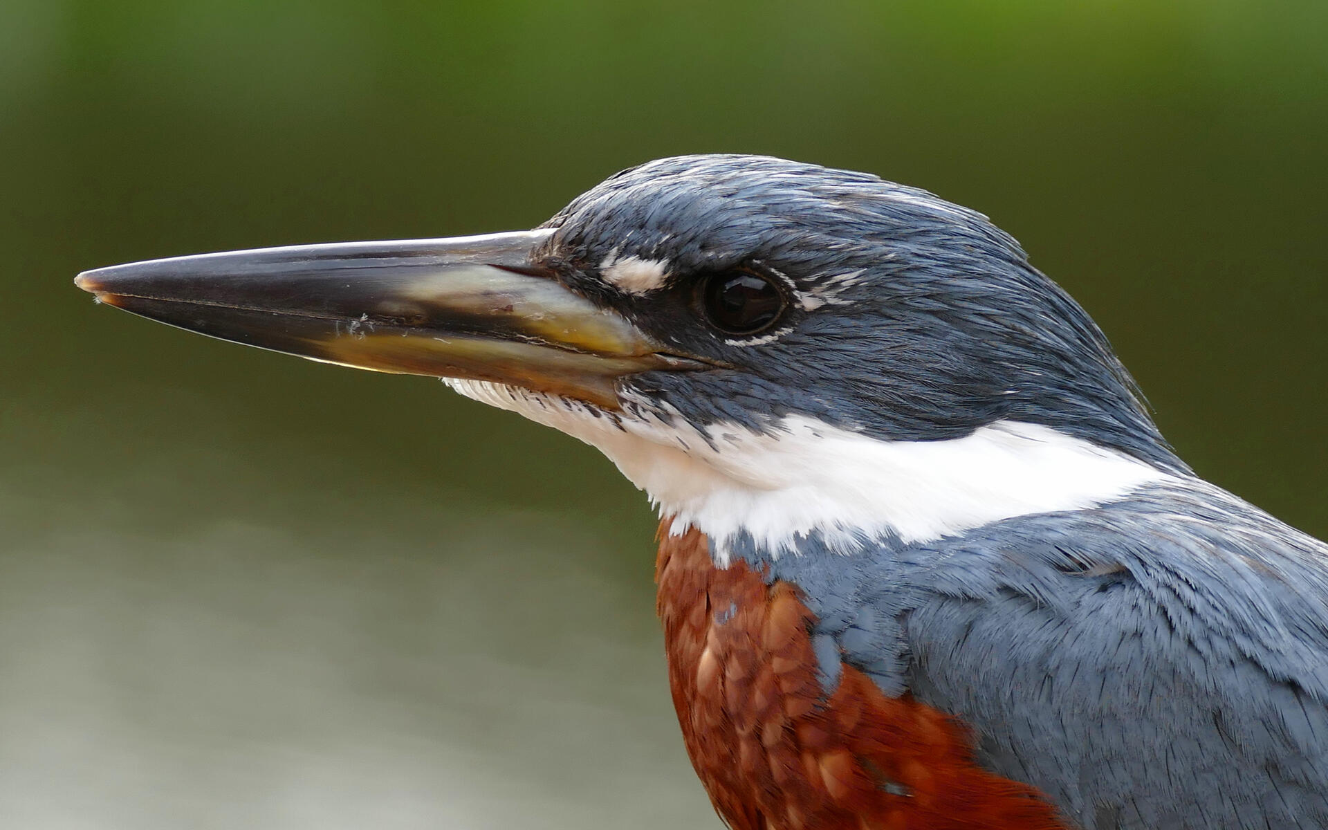 Ringed Kingfisher Audubon Field Guide