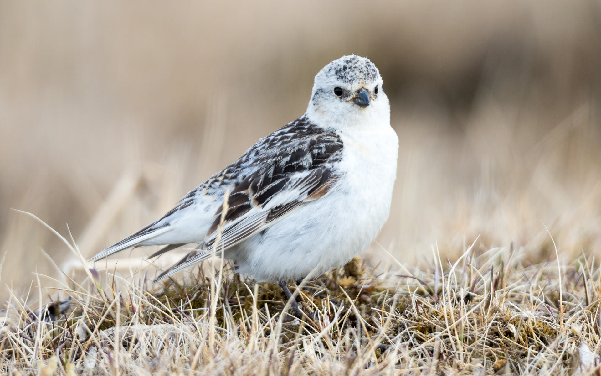 Snow Bunting | Audubon Field Guide