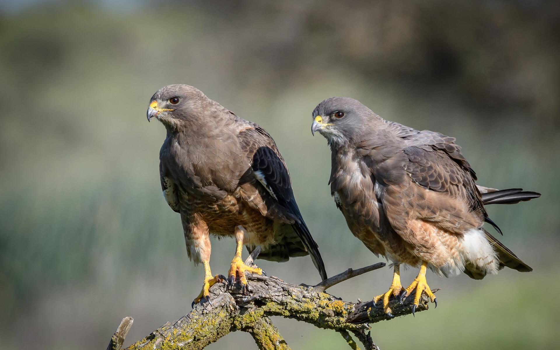Swainson S Hawk Audubon Field Guide