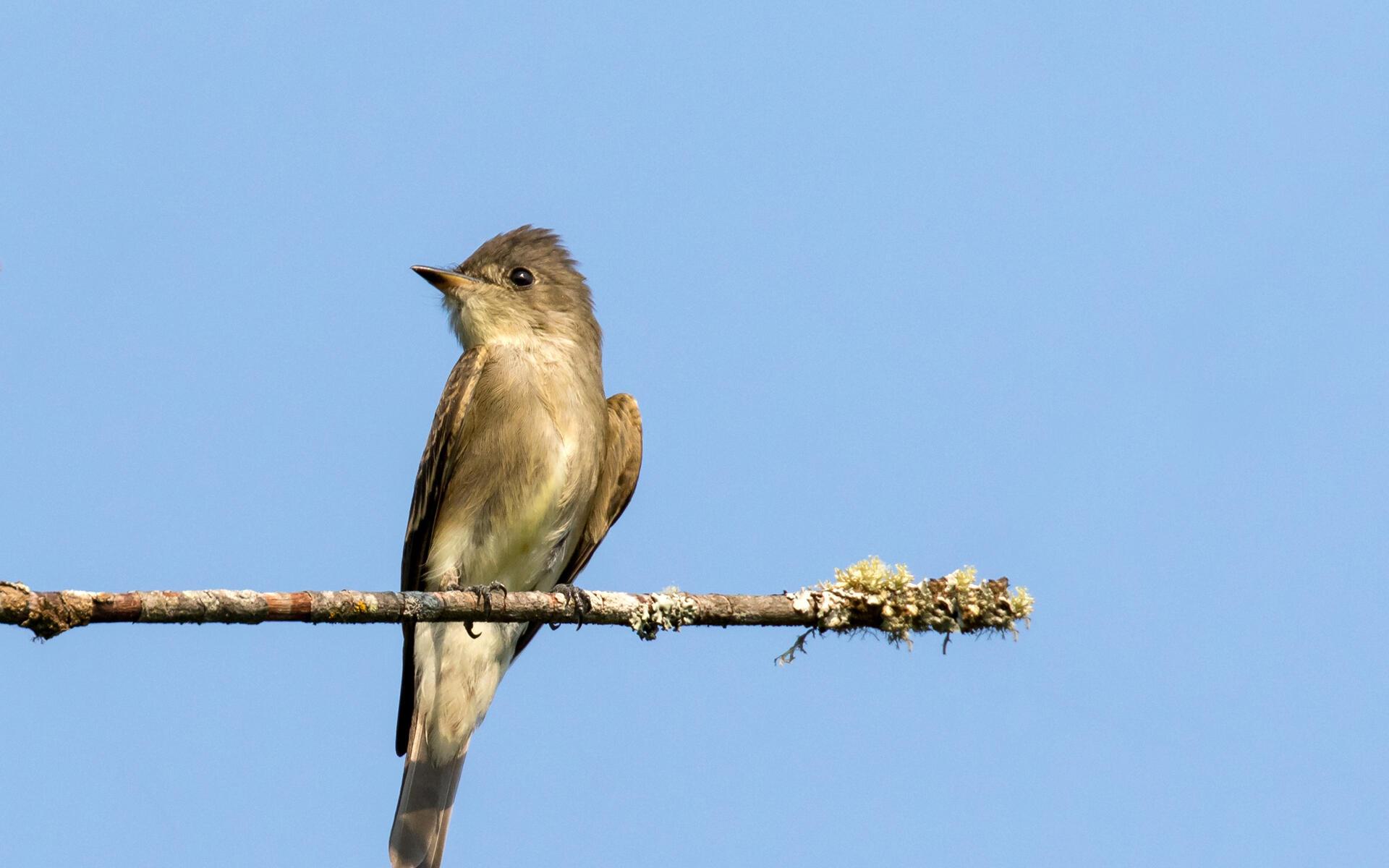 Western Wood Pewee Audubon Field Guide