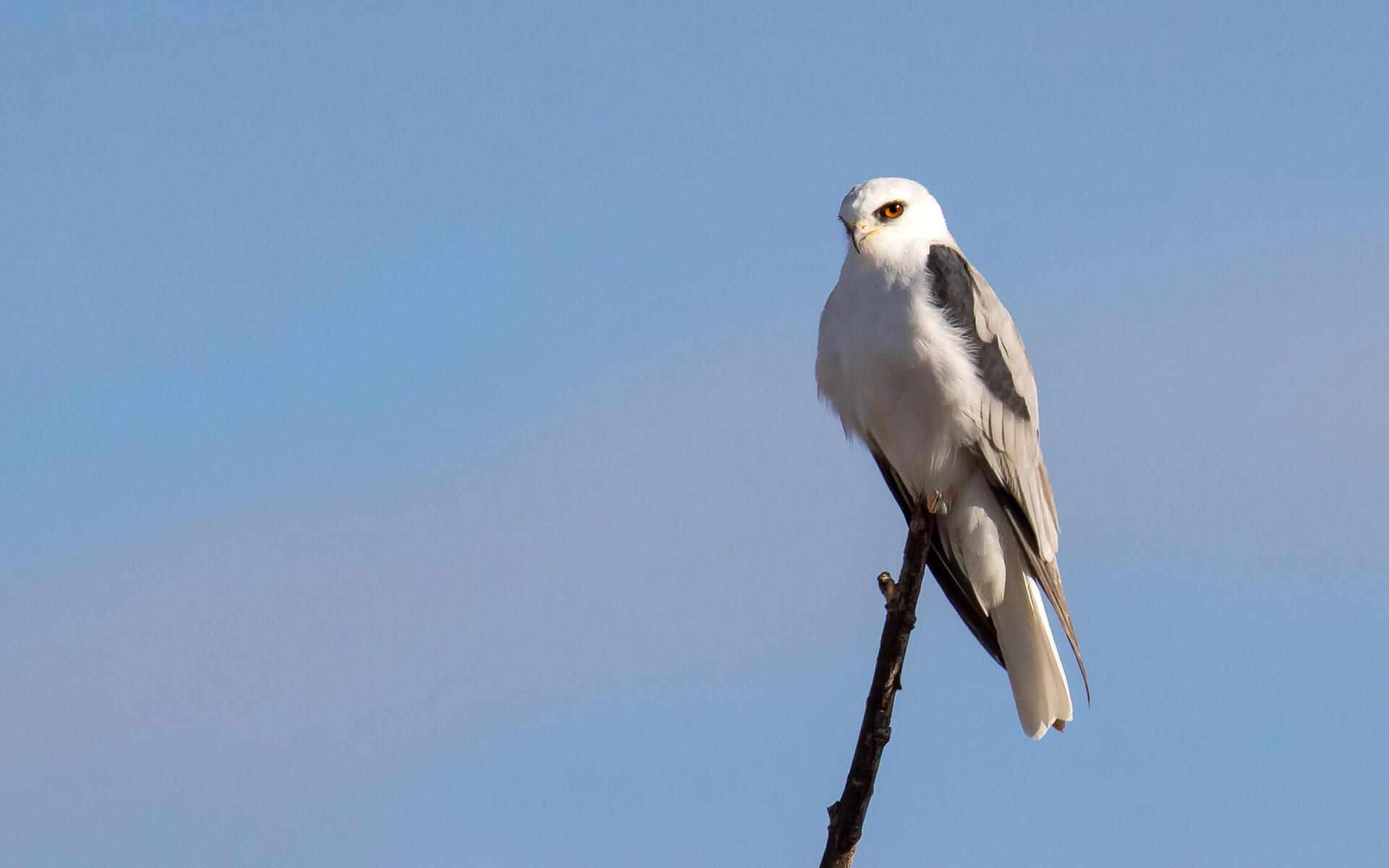 White Tailed Kite Audubon Field Guide