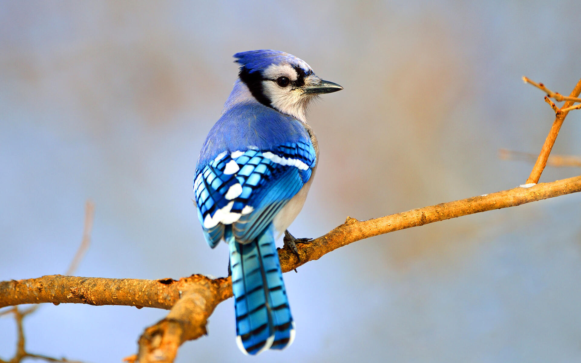 Blue Jay | Audubon Field Guide