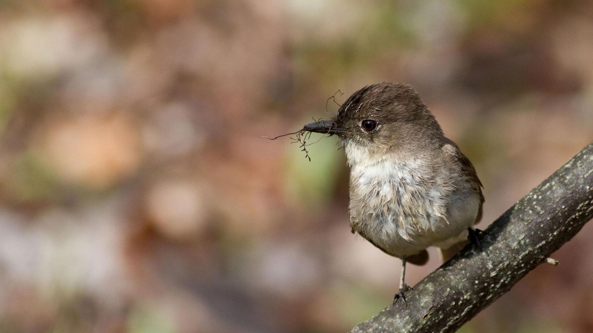 Eastern Phoebe Audubon Field Guide