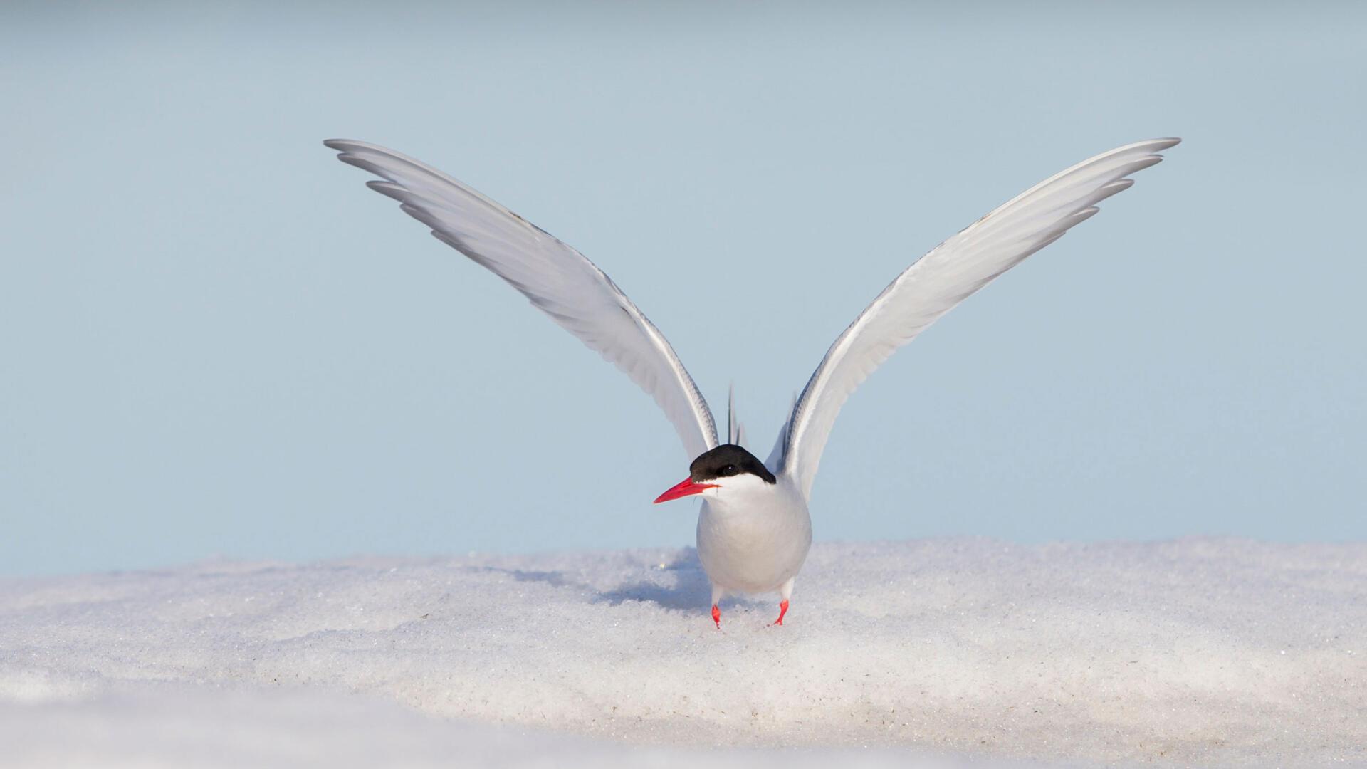 Charrán Ártico   Guía de Aves