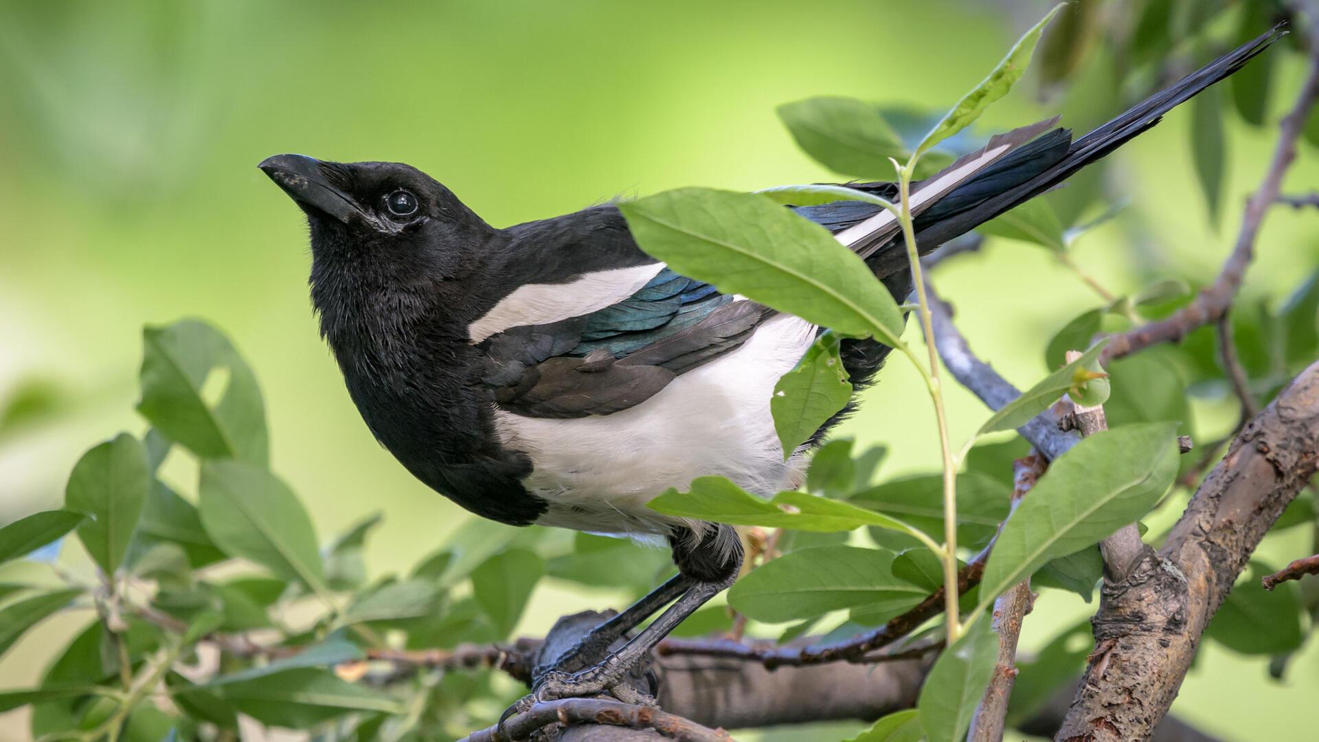 Black Billed Magpie Audubon Field Guide