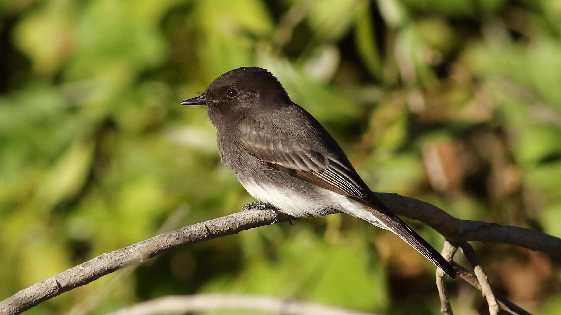 Black Phoebe Audubon Field Guide
