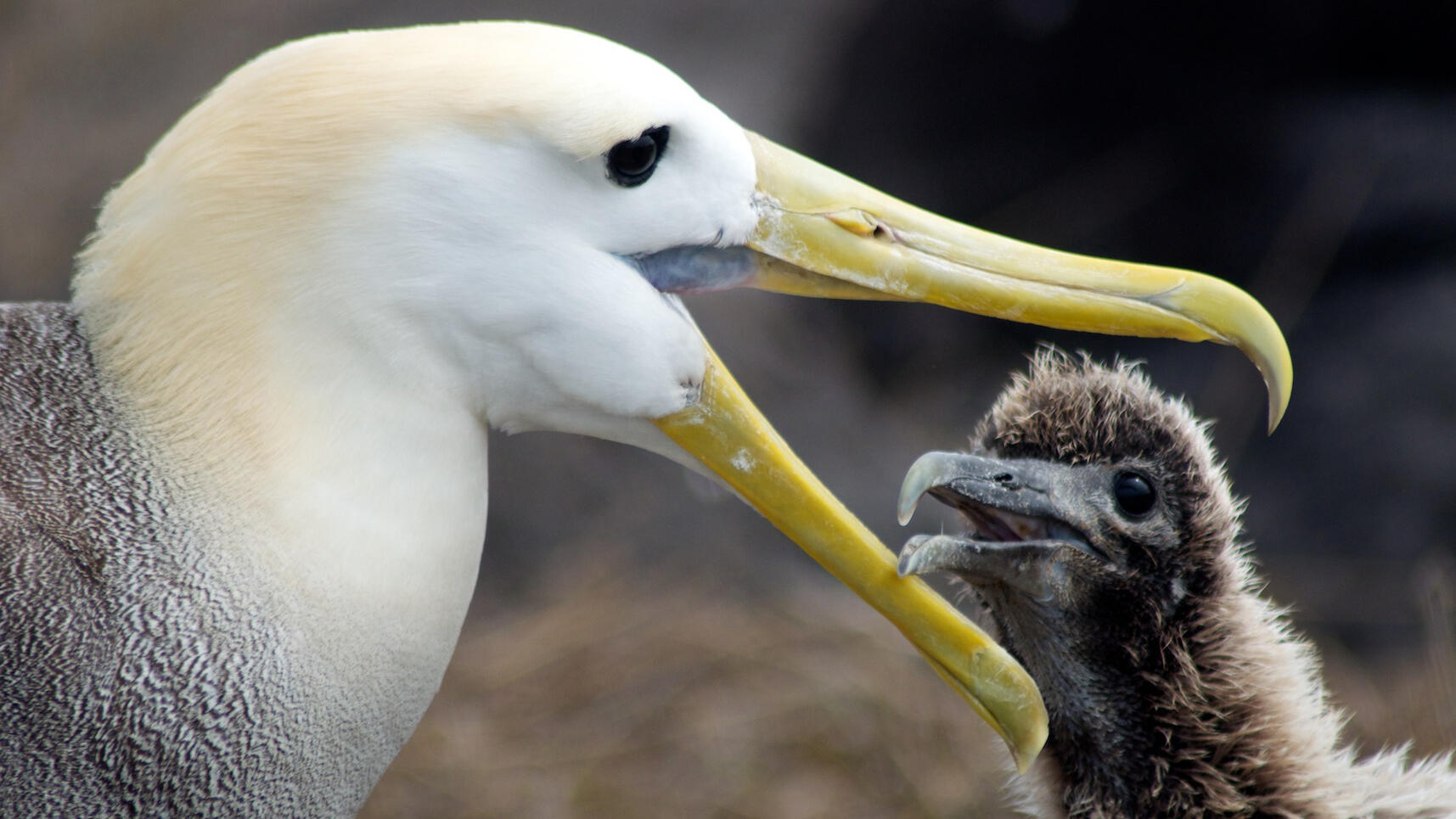 Waved_Albatross_EB_Connelly_Audubon_Photography_Awards