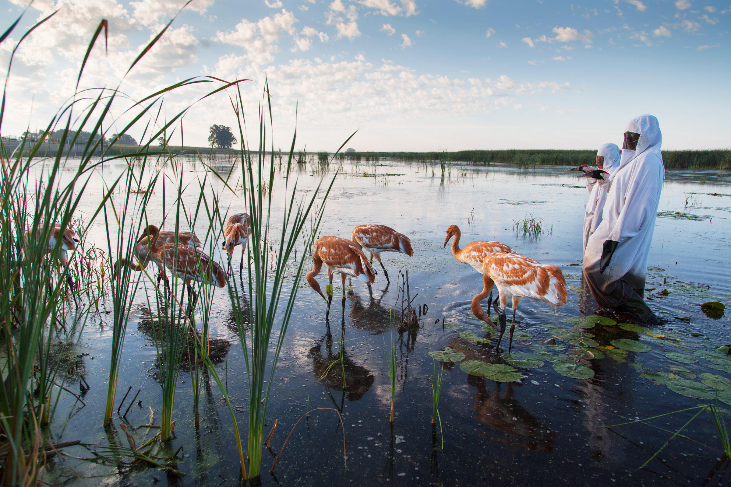 """Aviculturists take the birds on a """"marsh walk,"""" leading them around the prairie and down into the water. It's a tricky endeavor for the humans, who get stuck in the mud and occasionally tumble into the water. Tom Lynn"""