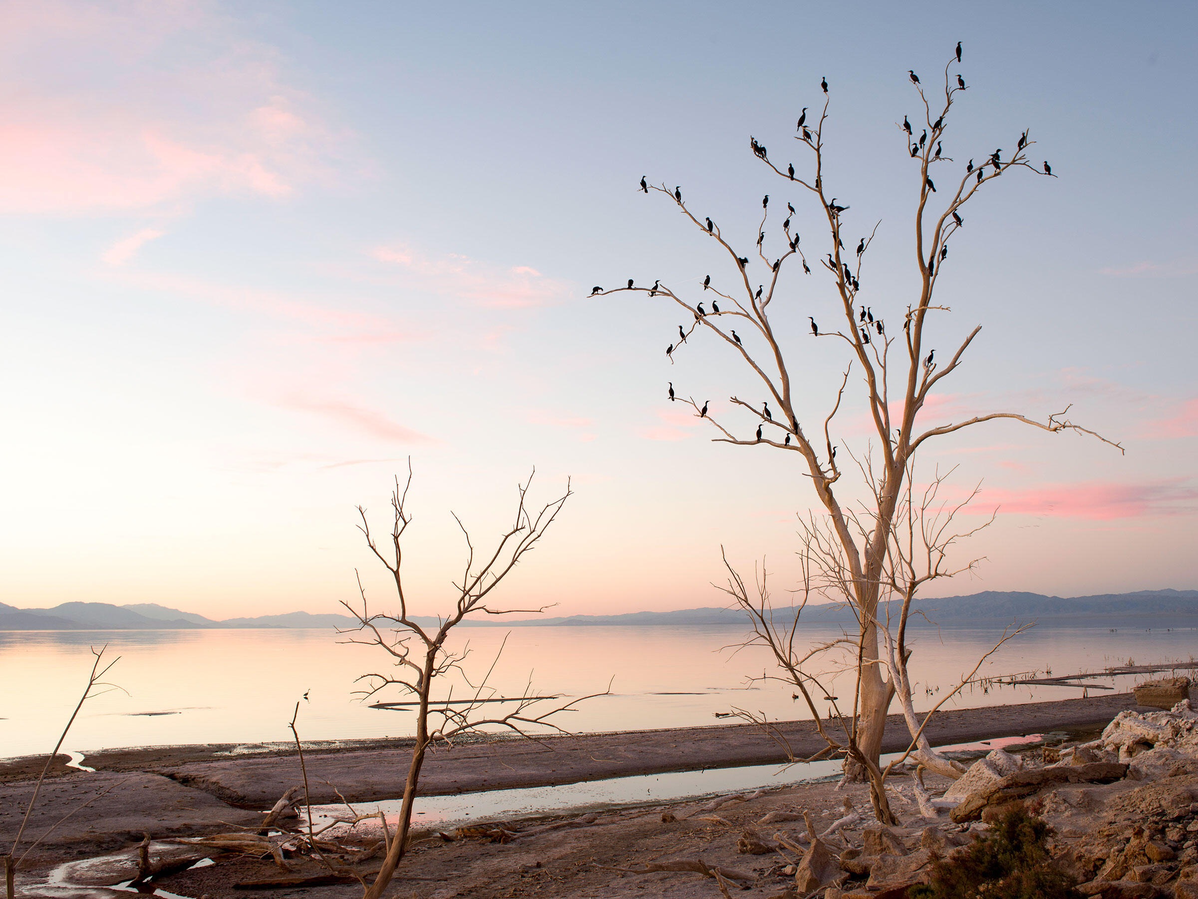 Double-crested Cormorants in a dead tree on the south end of the Salton Sea. Peter Bohler/Redux