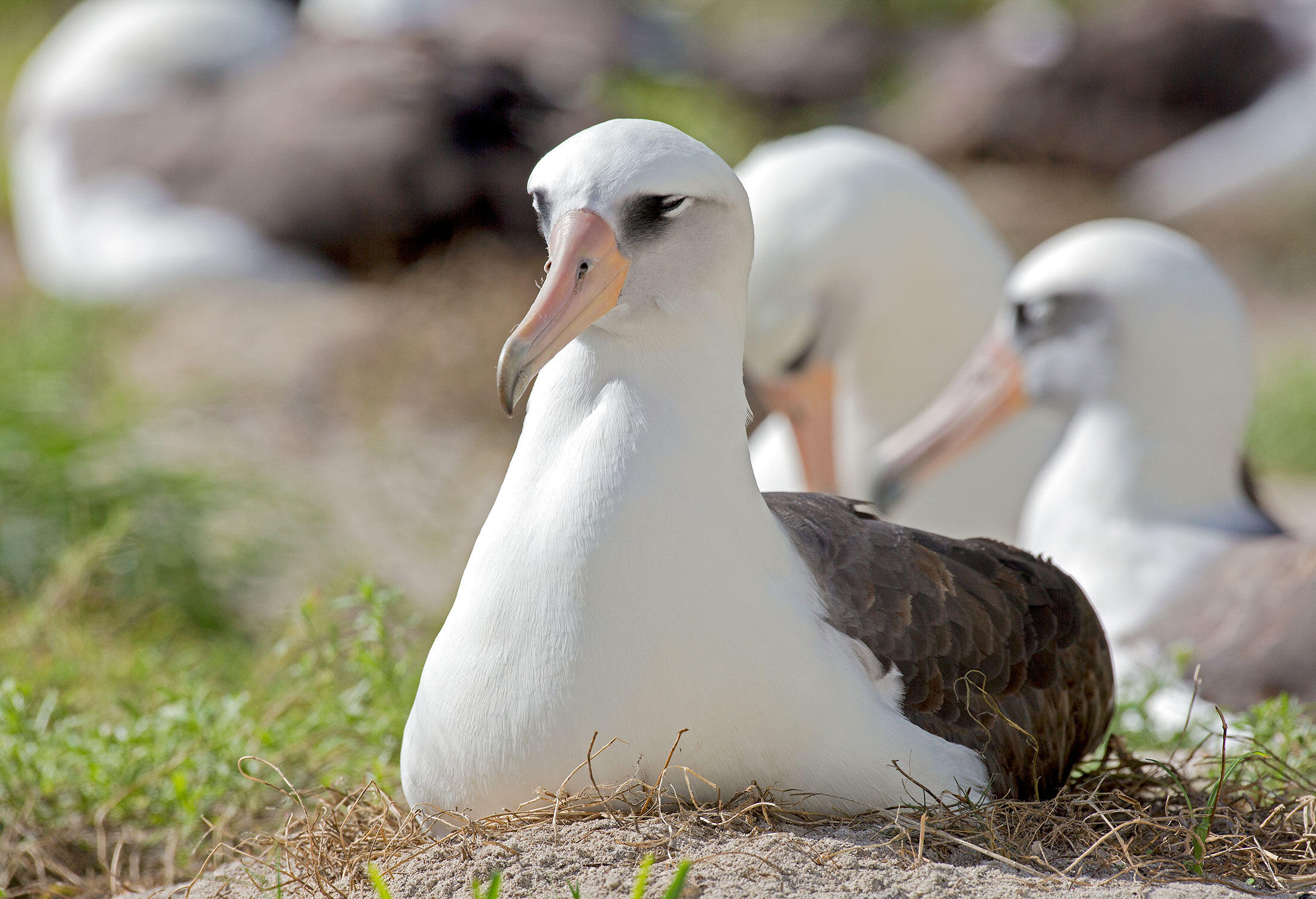 Wisdom incubating her egg on Midway Atoll National Wildlife Refuge, where invasive mice have begun attacking nesting albatross at night. Daniel W. Clark/USFWS