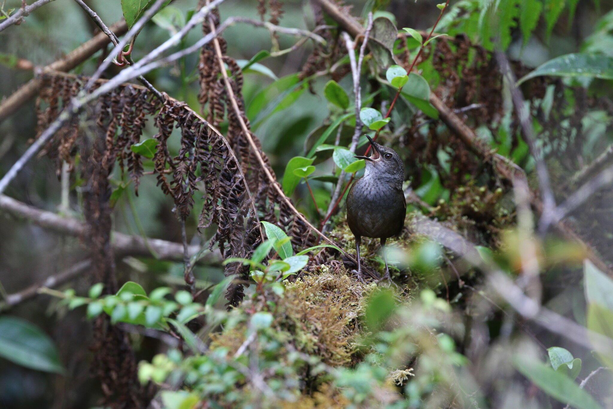 Taliabu Grasshopper-Warbler. James Eaton/Birdtour Asia