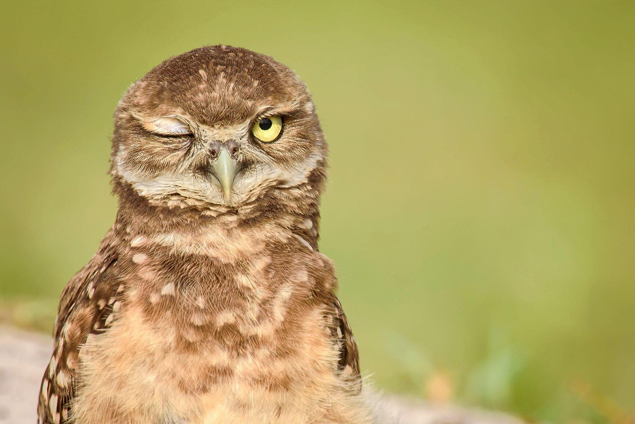 Wink! Burrowing Owl. Lou Staunton/Audubon Photography Awards